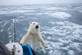 Polar Bear Leaning on Bowsprit on Ice Photographic Print by Paul Souders