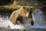 Brown Bear Running Through River at Kinak Bay Photographic Print by Paul Souders