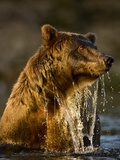 Brown Bear Emerging from Stream While Fishing at Kinak Bay Photographic Print by Paul Souders