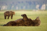 Brown Bear Lying on Back in Meadow at Hallo Bay Photographic Print by Paul Souders