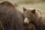 Brown Bear Cub and Sow, Katmai National Park, Alaska Photographic Print by Paul Souders