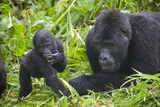 Baby Mountain Gorilla with Adult Male Photographic Print