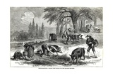 Illustration of Pigs Truffle Hunting Giclee Print