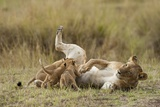 Lioness Nursing Cubs Photographic Print by Paul Souders