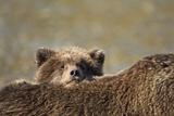 Brown Bear Cub and Mother, Katmai National Park, Alaska Photographic Print by Paul Souders