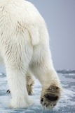 Polar Bear Walking on Pack Ice Photographic Print by Paul Souders