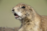 Prairie Dog in Theodore Roosevelt National Park Photographic Print by Paul Souders