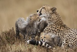 Cheetah Grooming Cub in Masai Mara National Reserve Photographic Print by Paul Souders