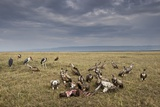Marabou Storks and Whitebacked Vultures at Wildebeest Carcass Photographic Print by Paul Souders