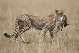 Cheetah Carrying Thomson's Gazelle Calf Kill Photographic Print by Paul Souders
