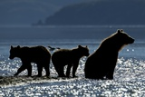 Brown Bear and Cubs, Katmai National Park, Alaska Photographic Print by Paul Souders
