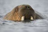 Walrus Swimming in Bjornbukta Bay on Summer Evening Photographic Print by Paul Souders