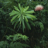 Protea Plant Photographic Print by Paul Souders