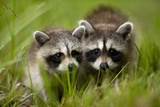 Raccoons at Assateague Island National Seashore in Maryland Fotografisk tryk af Paul Souders