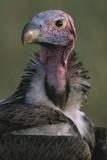 Close-Up of Lappet-Faced Vulture Fotografisk tryk af Paul Souders