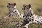 Cheetahs Resting in Grass Fotografisk tryk af Paul Souders