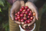 Handful of Coffee Cherries Photographic Print by Paul Souders
