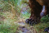 Close-Up of Grizzly Bear's Claws Photographic Print by Paul Souders