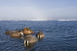 Walrus Swimming Off Shore at Tiholmane Island Photographic Print by Paul Souders