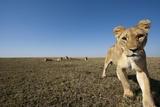 Curious Lion Approaching on Savanna Photographic Print by Paul Souders