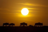 Migrating Wildebeest at Sunrise in Masai Mara National Reserve Photographic Print by Paul Souders