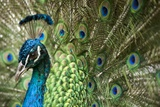 Male Indian Peacock in Costa Rica Papier Photo par Paul Souders