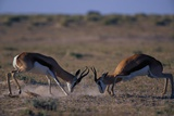 Male Springboks Sparring Photographic Print by Paul Souders