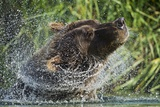 Brown Bear Fishing in Salmon Stream, Katmai National Park, Alaska Photographic Print by Paul Souders