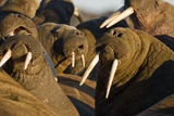 Walrus Colony Near Kapp Lee in Midnight Sun Photographic Print by Paul Souders