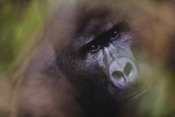 Close-Up of Mountain Gorilla Photographic Print by Paul Souders