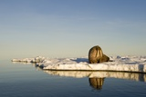 Walrus on Iceberg Near Kapp Lee in Midnight Sun Stampa fotografica di Paul Souders