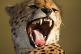 Cheetah Yawning Photographic Print by Paul Souders