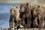 Brown Bear Cubs, Katmai National Park, Alaska Lámina fotográfica por Paul Souders
