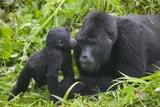 Baby Gorilla Kisses Silverback Male Fotografisk tryk