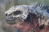 Close-Up of Red Marine Iguana Photographic Print by Paul Souders