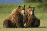 Two Brown Bears Sitting in Meadow at Hallo Bay Photographic Print by Paul Souders