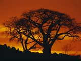 Baobab Trees at Sunset Photographic Print by Paul Souders