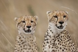 Cheetahs in Tall Grass Fotografisk tryk af Paul Souders