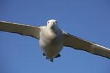 Wandering Albatross in Flight at South Georgia Island Photographic Print by Paul Souders