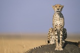 Cheetah on Termite Mound Photographic Print by Paul Souders