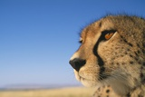 Close-Up of Cheetah Photographic Print by Paul Souders
