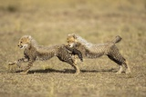 Cheetah Cubs Playing on Savanna Photographic Print by Paul Souders