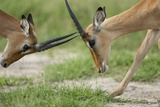 Male Impala Sparring for Dominance Photographic Print by Paul Souders