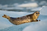 Harbor Seal and Iceberg, Alaska Photographic Print by Paul Souders