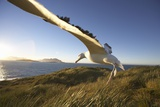 Wandering Albatross on South Georgia Island Photographic Print by Paul Souders