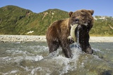 Brown Bear and Salmon, Katmai National Park, Alaska Photographic Print by Paul Souders