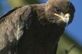 Close-Up of Tawny Eagle Photographic Print by Paul Souders