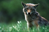 Coyote in Alpine Meadow Photographic Print by Paul Souders