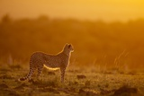 Cheetah on Savanna at Sunrise Photographic Print by Paul Souders