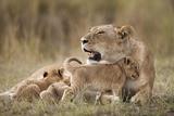 Lioness Nursing Cubs in Masai Mara National Reserve Fotografie-Druck von Paul Souders